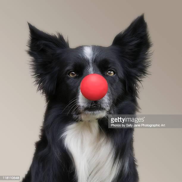 dog wearing red clown nose - nariz de payaso fotografías e imágenes de stock