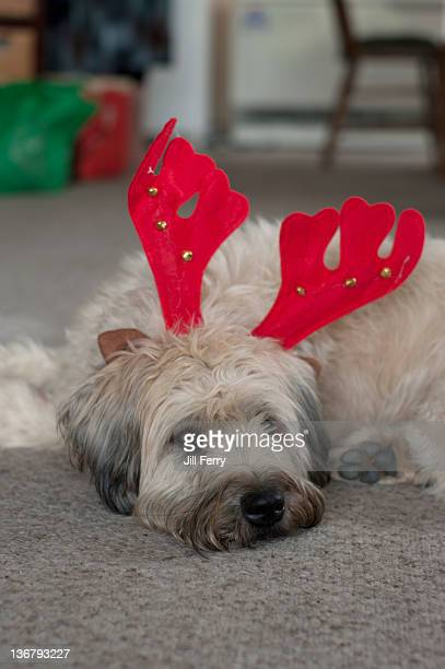 dog wearing reindeer antler headdress. - soft coated wheaten terrier stock photos and pictures