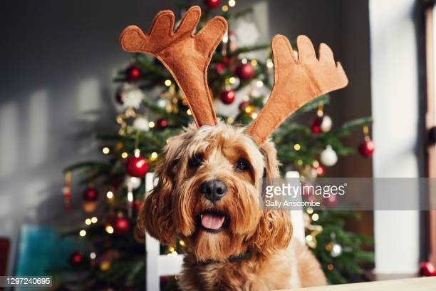 dog wearing reindeer antlers at christmas time - sally anscombe stock pictures, royalty-free photos & images