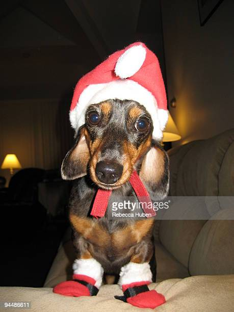 dog wearing santa dress  - dachshund christmas stock pictures, royalty-free photos & images