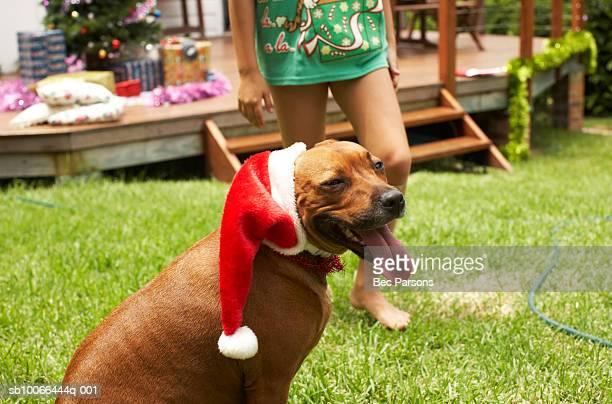 Dog wearing Santa hat in yard, girl (9-10) walking behind