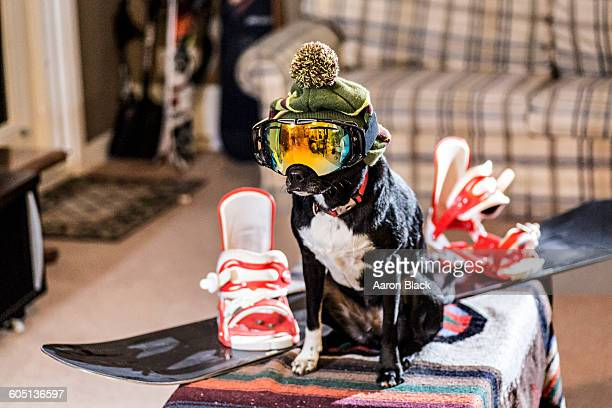 dog wearing ski goggles and hat beside snowboard - snowboarding stock pictures, royalty-free photos & images