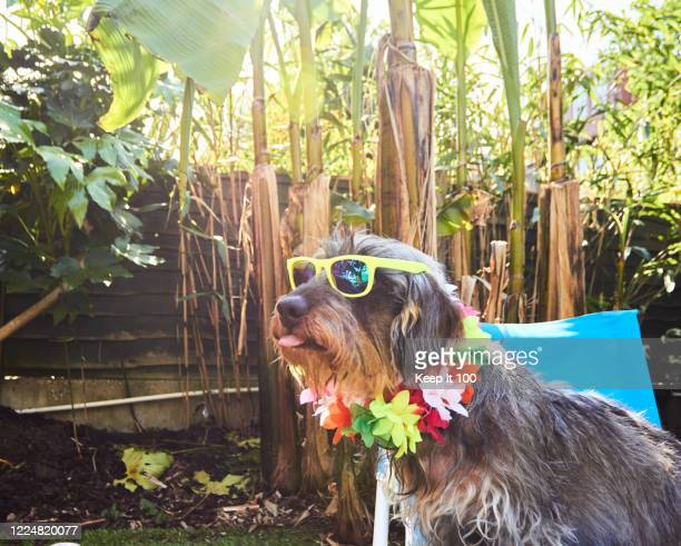 dog wearing sunglasses - garland stock pictures, royalty-free photos & images