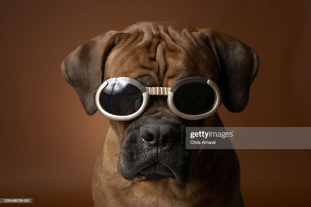 Dog wearing sunglasses : Stock Photo