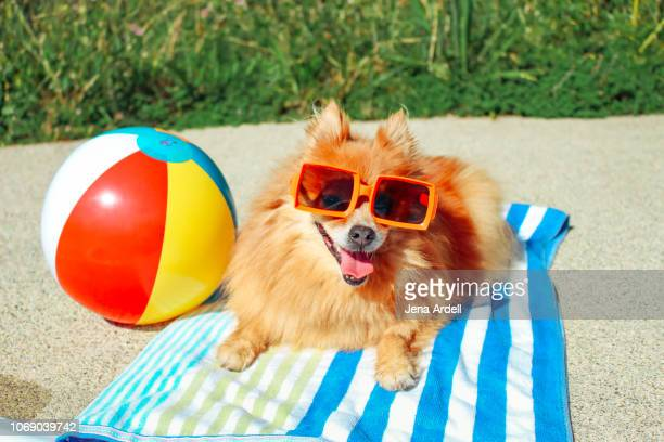 dog wearing sunglasses, pomeranian, dog on vacation, happy dog, funny dog, dog summer - funny dogs stock pictures, royalty-free photos & images