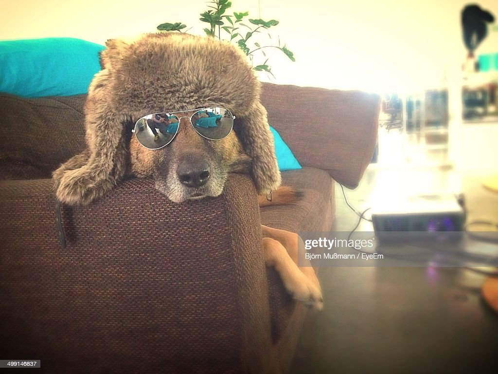 Dog wearing sunglasses relaxing on sofa at home