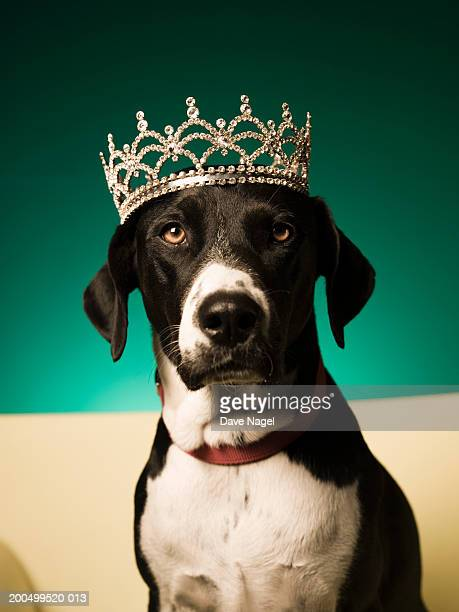 dog wearing tiarra, close-up - crown close up stock pictures, royalty-free photos & images