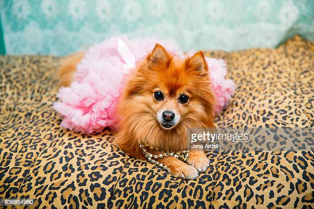 dog wearing tutu - leopard skin stock pictures, royalty-free photos & images