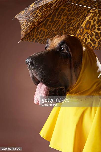 dog wearing yellow raincoat under leopard print umbrella - under tongue stock pictures, royalty-free photos & images
