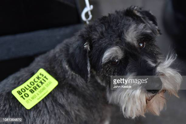 """Dog wears a """"Bollocks to Brexit"""" sticker outside the Houses of Parliament, Westminster on December 11, 2018 in London, England. Opposition leaders..."""