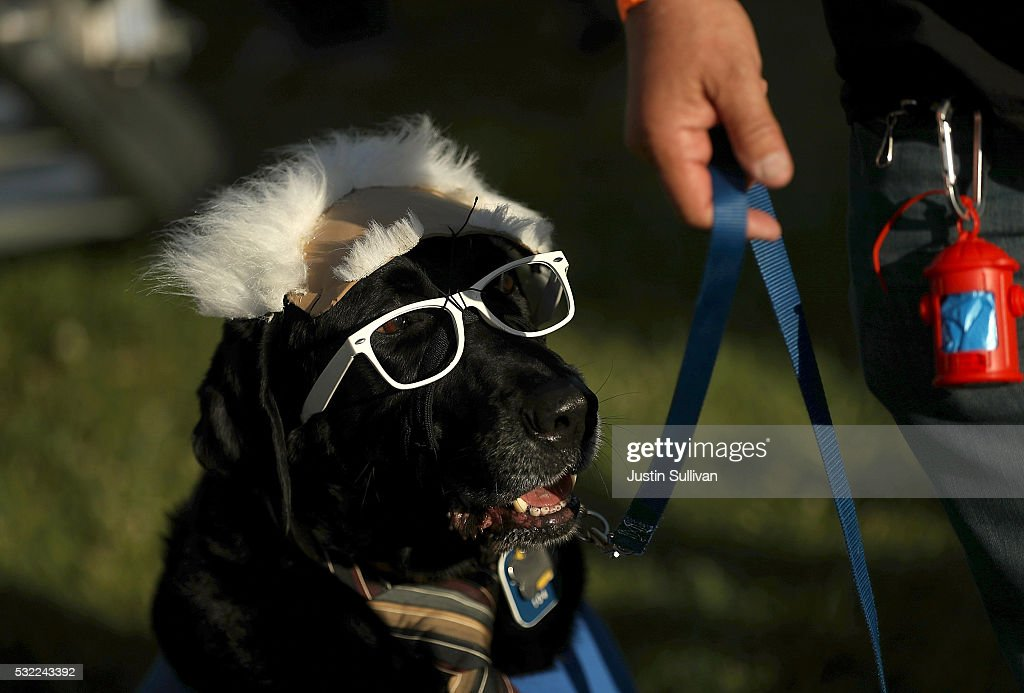 A dog wears a costume to look like Democratic presidential candidate Sen. Bernie Sanders during a campaign rally at Waterfront Park on May 18, 2016 in Vallejo, California. A day after winning the Oregon primary, Bernie Sanders is campaigning in California ahead of the state's presidential primary on June 7.