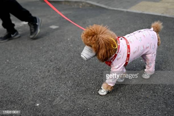 A dog wears a mask over its mouth on a street in Beijing on February 13 2020 The number of deaths and new cases from China's COVID19 coronavirus...