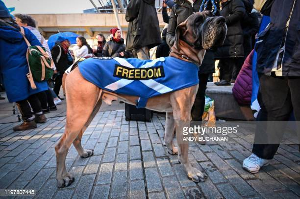 "Dog wears a Saltire, the flag of Scotland with the word ""Freedom"" written across it, during a protest by anti-Brexit activists in Edinburgh, Scotland..."