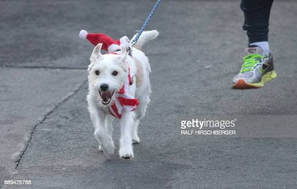 A dog wears a Santa hat and scarf during the traditional Santa Claus run in Michendorf eastern Germany on December 10 2017 / AFP PHOTO / dpa / Ralf...