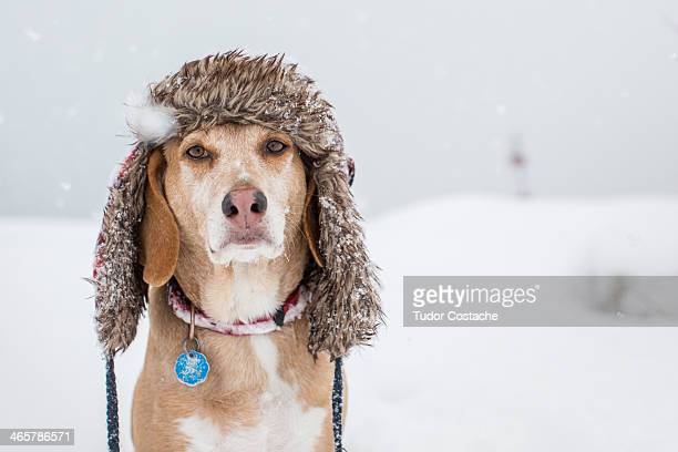 dog wears a winter hat - winter weather stock photos and pictures