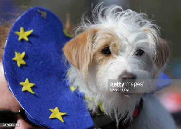 A dog wears an EU flagthemed collar as a demonstrator prepares to participate in an anti Brexit proEuropean Union march in London on March 25 ahead...