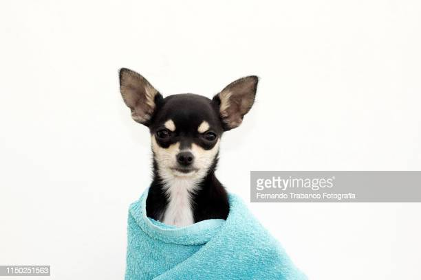 dog with a bath towel - skimpy bathing suits stock pictures, royalty-free photos & images
