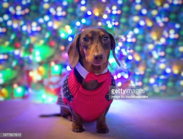 dog with a bow tie at christmas - dachshund christmas stock pictures, royalty-free photos & images