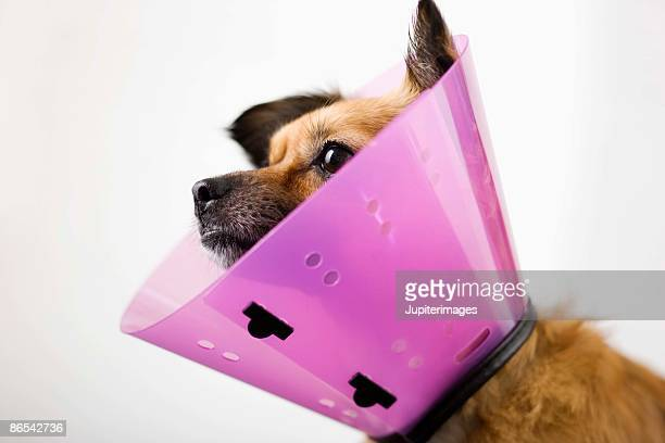 dog with a cone collar - cone shape stock photos and pictures