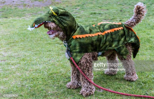 dog with a costume on. - pet clothing stock pictures, royalty-free photos & images