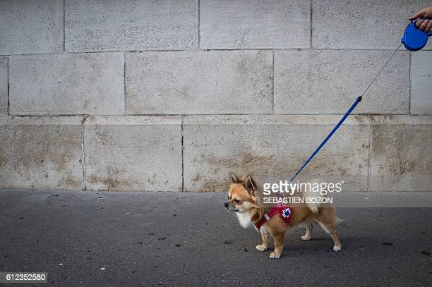 A dog with a French Roundel attached to his harness is taken for a morning walk on October 4 2016 in Belfort eastern France / AFP / SEBASTIEN BOZON