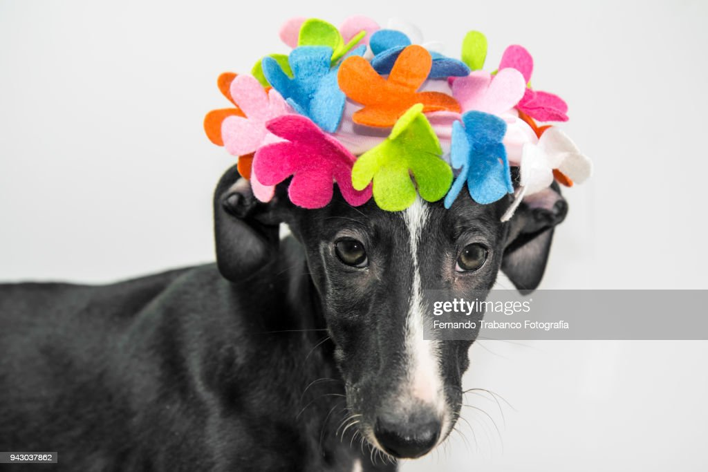 Dog with a hat of flowers on his head : Stock Photo
