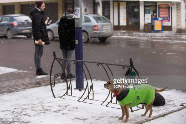A dog with a jacket seen during a low temperature day in Krakow