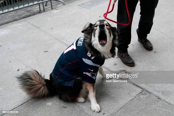 A dog with a jersey of New England Patriots tight end Rob Gronkowski before the Patriots Victory Parade through the streets of Boston on February 7...