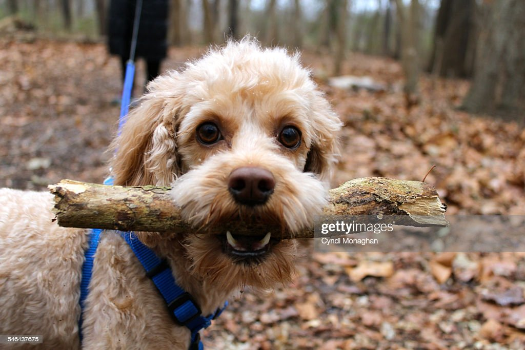 Dog with a Stick : Stock Photo