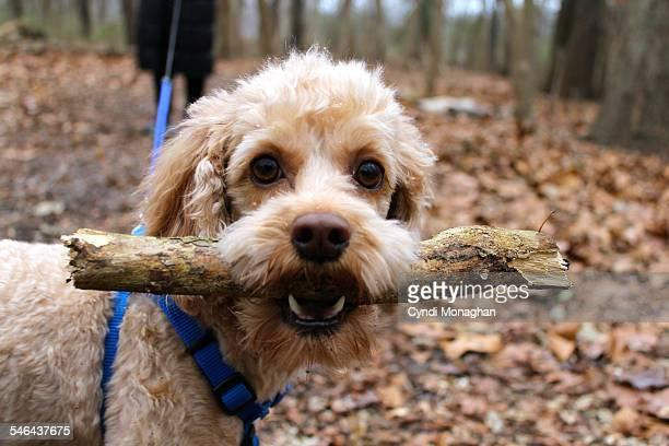 dog with a stick - cockapoo bildbanksfoton och bilder