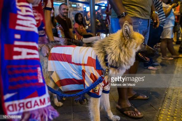 A dog with Atletico Madrid shirt during the celebration at Neptuno Square after Atletico Madrid won UEFA Super Cup against Real Madrid
