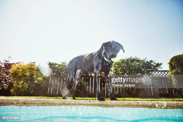 Dog with ball in mouth standing beside backyard pool after swimming on summer afternoon
