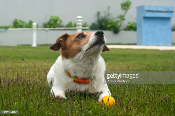 Dog with ball looking up