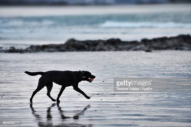 Dog With Ball Waking On Beach