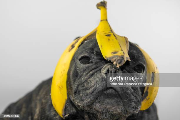 dog with banana peel on the head - printemps humour photos et images de collection
