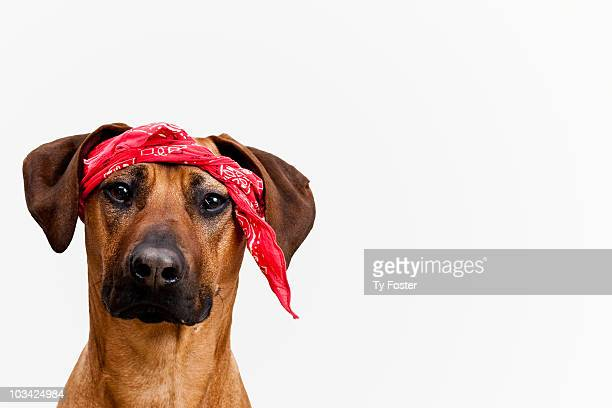 Dog with bandana tied on his head