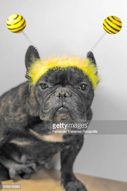 dog with bee costume - christmas beetle stock pictures, royalty-free photos & images