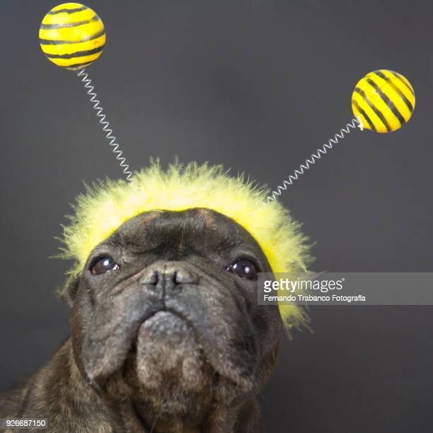 dog with bee costume - headband stock pictures, royalty-free photos & images