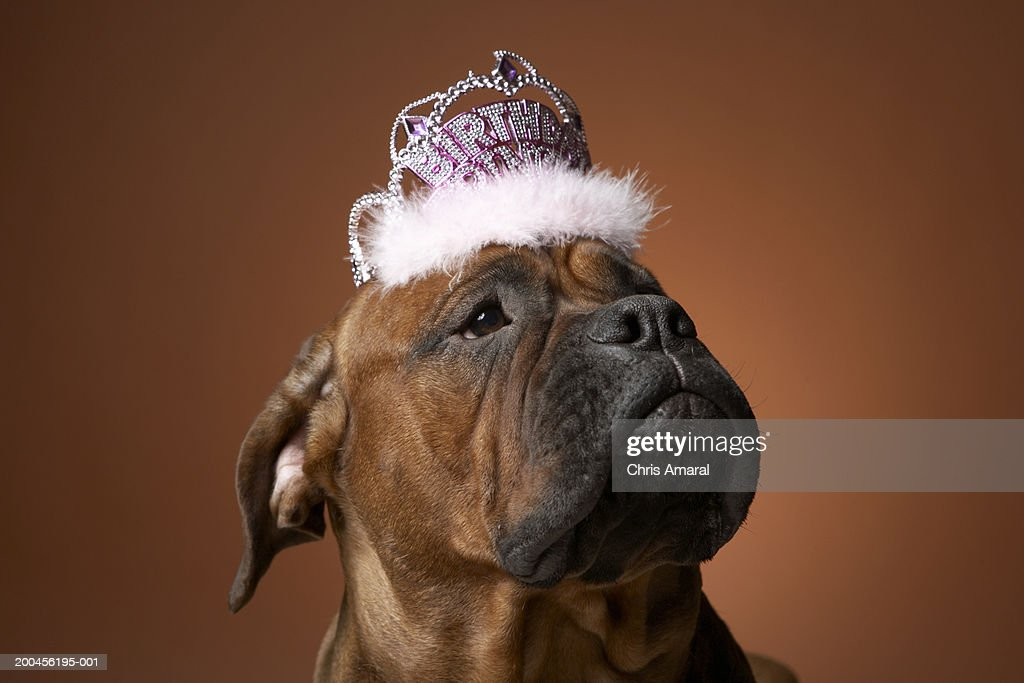 Dog With Birthday Crown On Head Stock Foto
