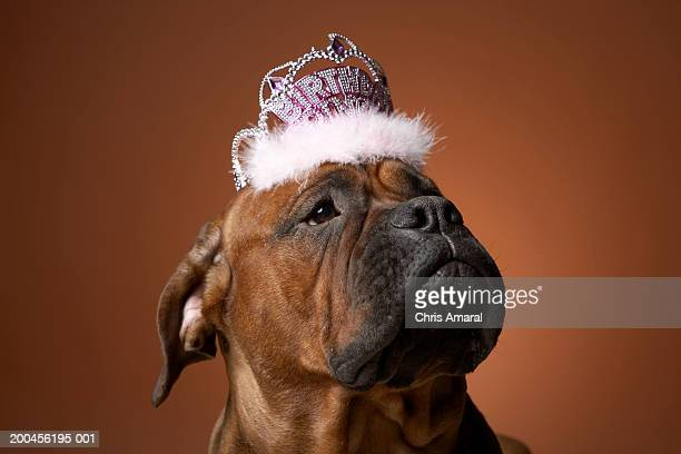 dog with birthday crown on head - happybirthdaycrown stock pictures, royalty-free photos & images
