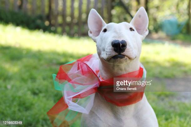 dog with bow of the italian tricolor flag - bull terrier stock pictures, royalty-free photos & images