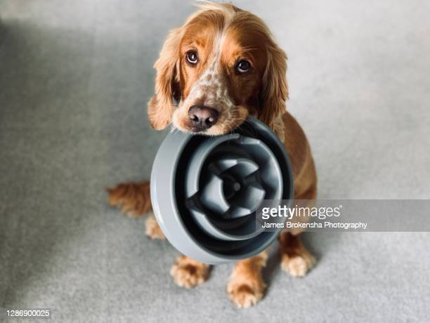 dog with bowl - cocker spaniel stock pictures, royalty-free photos & images