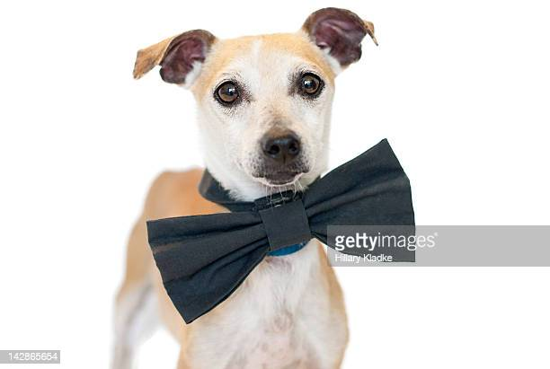 Dog with bow-tie