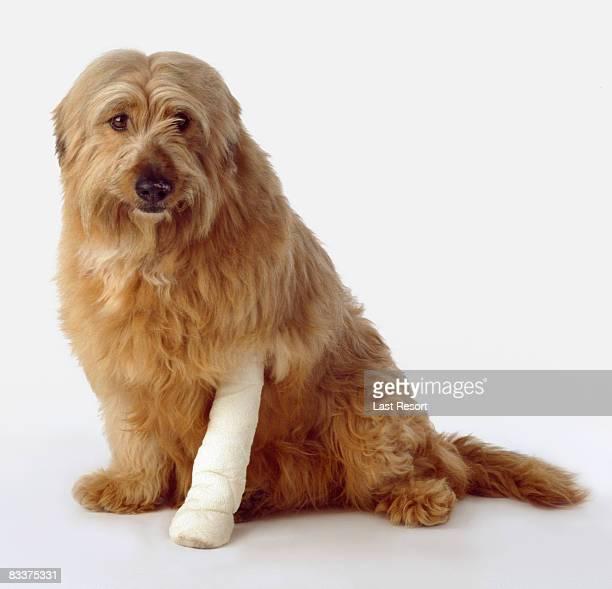 dog with cast on leg - 包帯 ストックフォトと画像