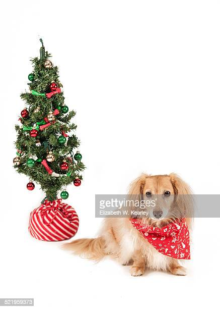 dog with christmas tree - dachshund christmas stock pictures, royalty-free photos & images