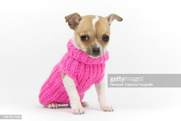 dog with coat - pink coat stock pictures, royalty-free photos & images