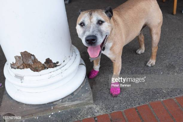 dog with collar wearing pink booties - sock stock pictures, royalty-free photos & images