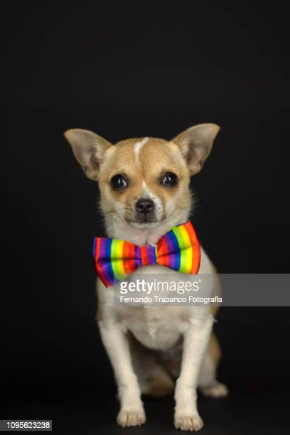 Dog with colorful bow tie