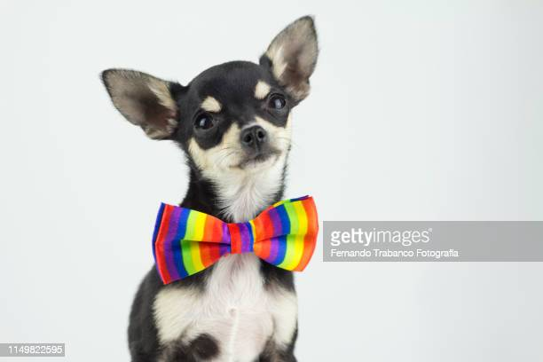 dog with colorful bow tie - halsband bildbanksfoton och bilder