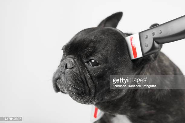 dog with dagger on his head - stab wound stock pictures, royalty-free photos & images